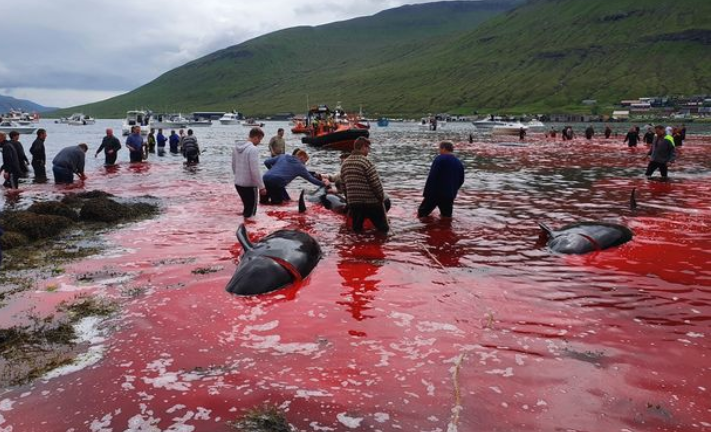 Horror scenes as 23 whales are butchered turning the sea red
