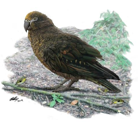 Fossil find reveals that the world's largest parrot was over 3 feet tall