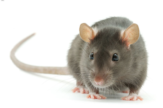 Japan's Family Mart convenience chain apologises for rats in store
