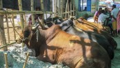 Locally-raised cattle is reigning the city makeshift markets