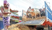 Cattle traders await customers at Ctg markets