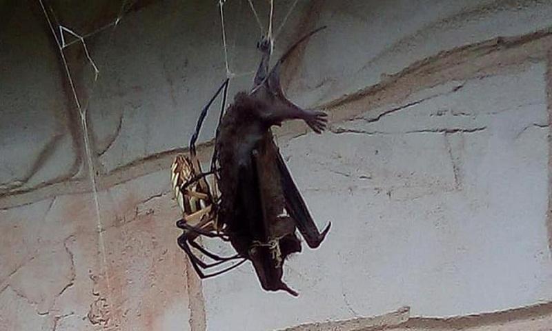 Spider traps, then eats bat in its web