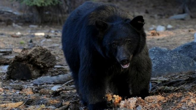 Bear breaks into house and smashes wall to leave