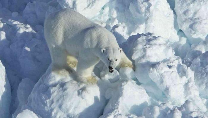 Alaska scientists say polar bear encounters increases