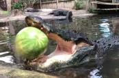 Alligator smashes watermelon in a single bite