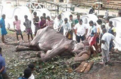 Elephant Tikiiri broken by neglect looks close to death