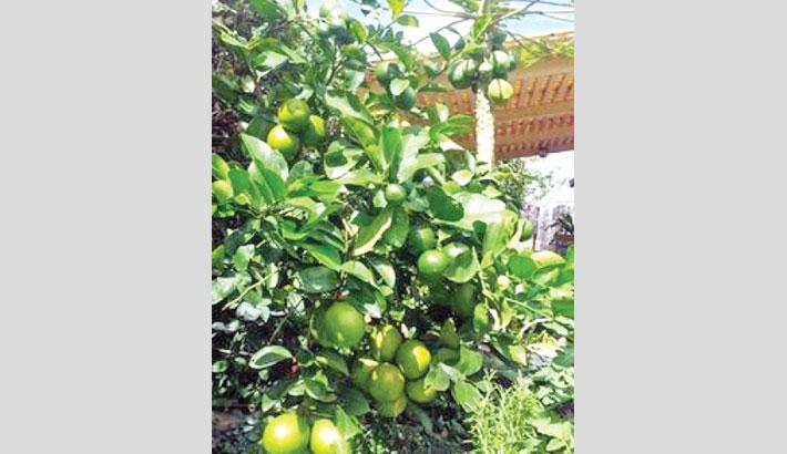 Sylhet farmers upbeat about Jara Lemon farming amid growing export