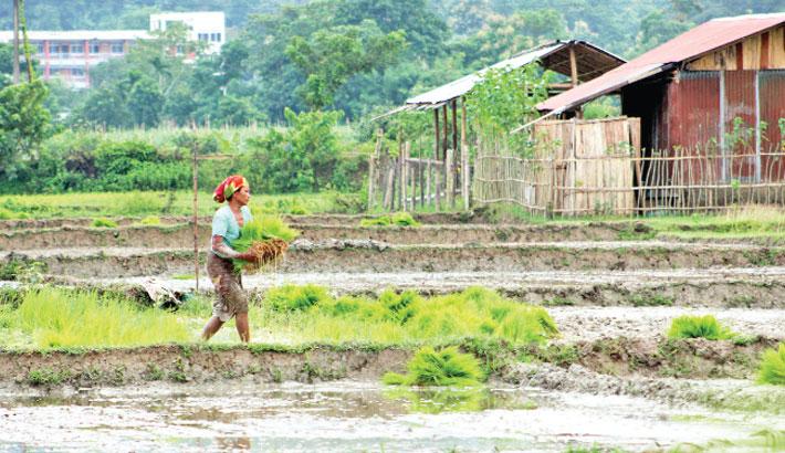 Female tribe worker is busy uprooting Aman seedlings