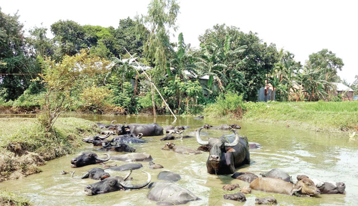 Herd of buffalo take a dip in a pond