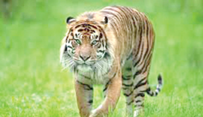 'Over 2,300 tigers killed and trafficked this century'
