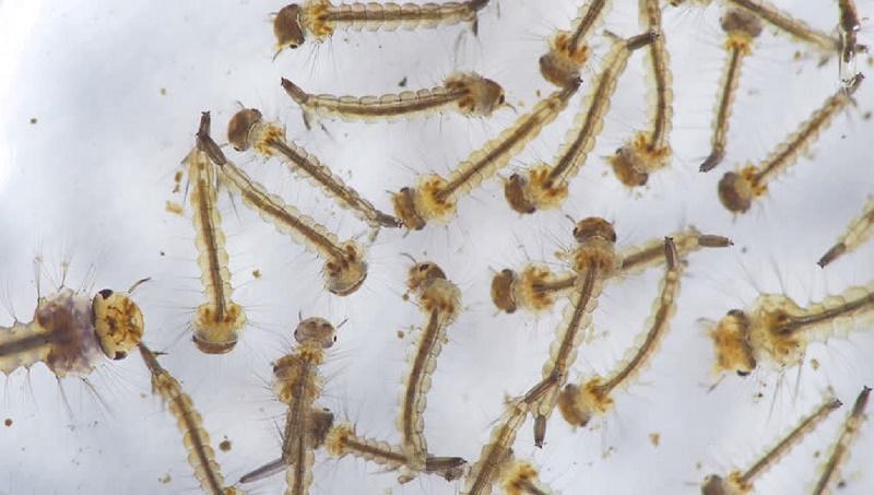 Larvae found in 33 establishments in DSCC, DNCC
