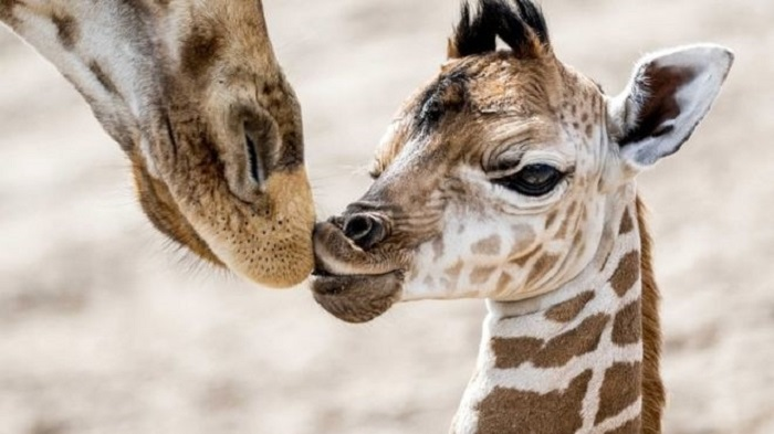 Giraffes given greater protection from unregulated trade