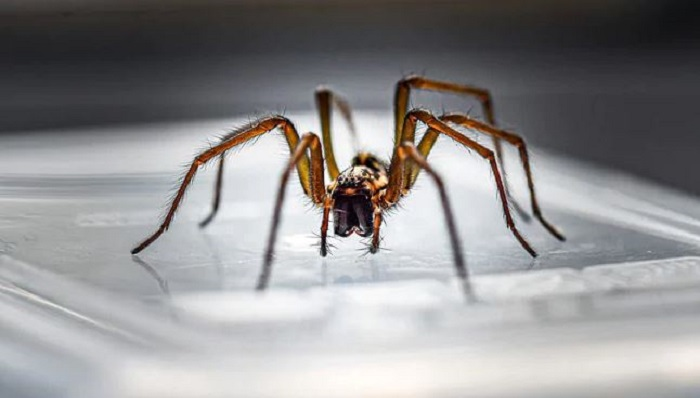 Venomous brown recluse spider extracted from Missouri women's ear