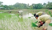 T-Aman farming goes on in full swing in Gaibandha