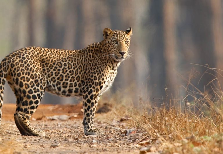 Poaching poses serious threat to leopard in India
