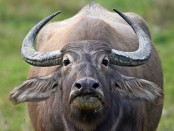 Indian MP charged for stealing buffalo!