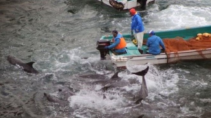Japan starts controversial Taiji dolphin hunt
