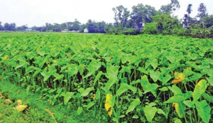 Arum farming becomes boon  for many Rajshahi farmers