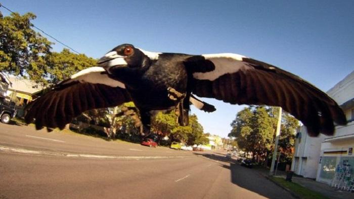 Magpie 'monster' shot dead in Sydney following attacks