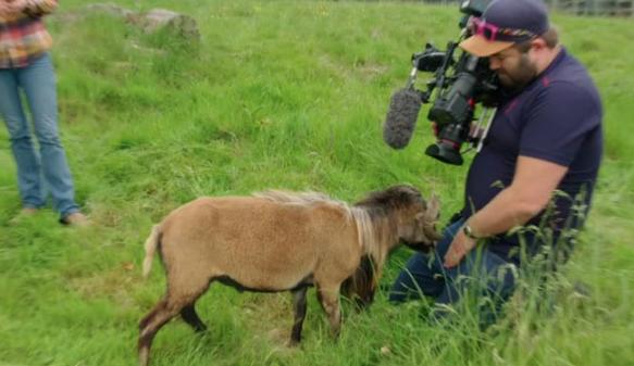 Angry goat smacks BBC cameraman, video goes viral