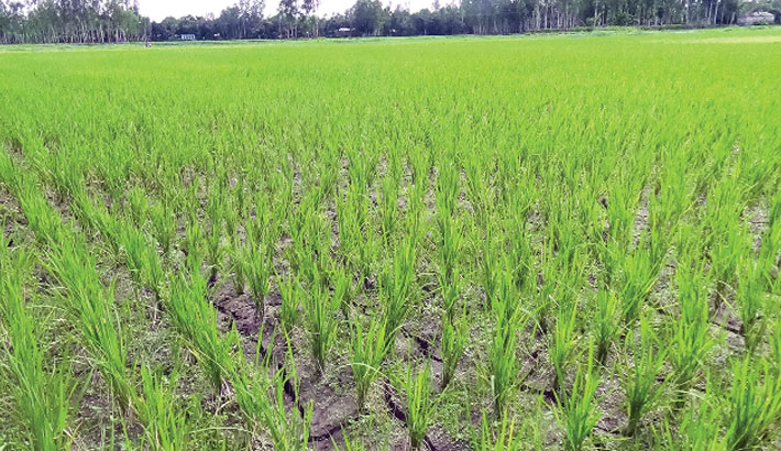 Paddy field develops cracks