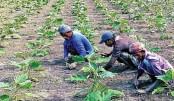Phulbari farmers happy with early brinjal farming