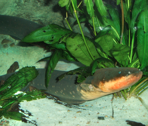 Jolting discovery: Powerful new electric eel found