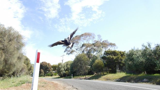 Australian cyclist dies while fleeing swooping Magpie