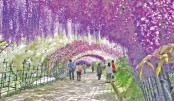 Wisteria tunnel: Japan's dream tourism spot