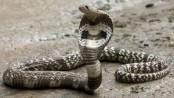 Two siblings die from snakebite in Jhenaidah