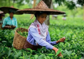 Govt to take project for women tea workers