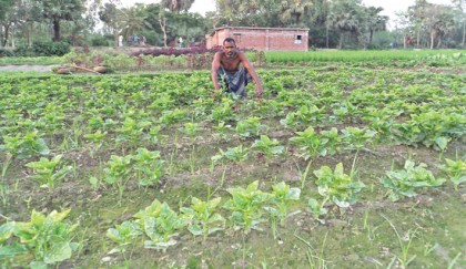 Malabar spinach farming popular in Bogura