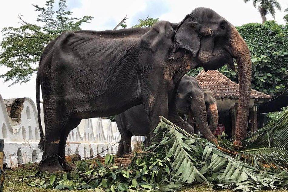 Sri Lankan elephant Tikiri forced to perform in parades dies