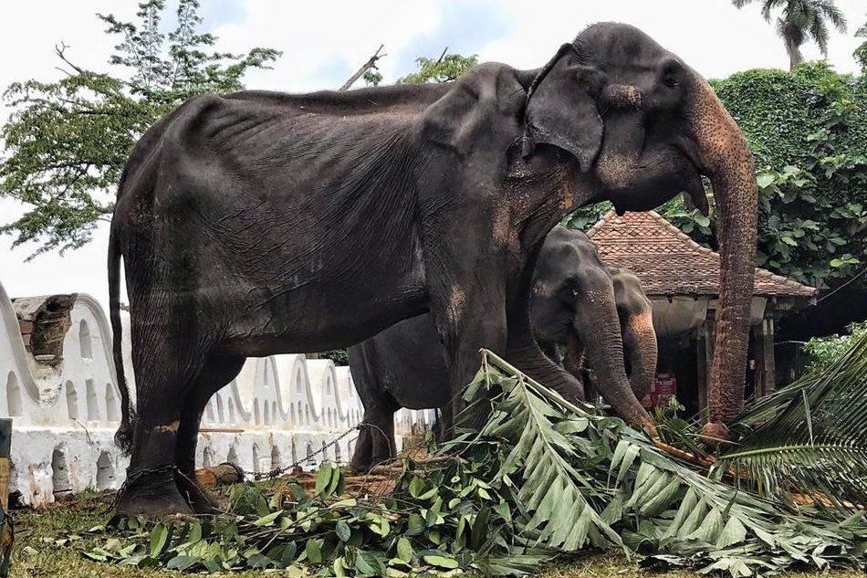 Sri Lankan elephant Tikiri forced to perform in parades dies