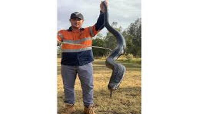 Man finds 6-foot-long huge red-bellied black snake