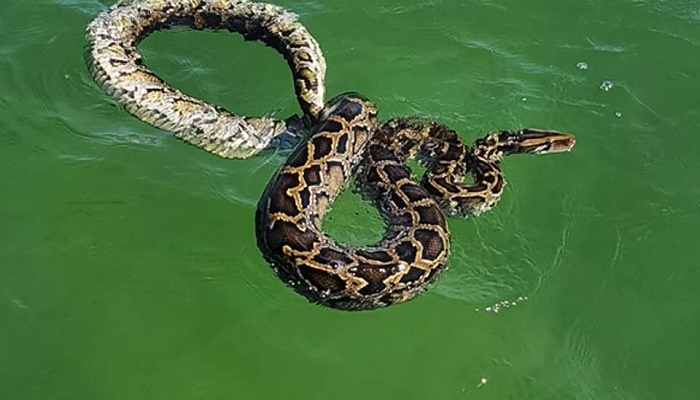 Huge Burmese Python seen swimming off Florida coast