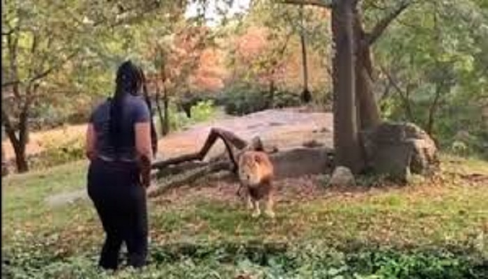 Woman climbs inside lion's enclosure in zoo and dances