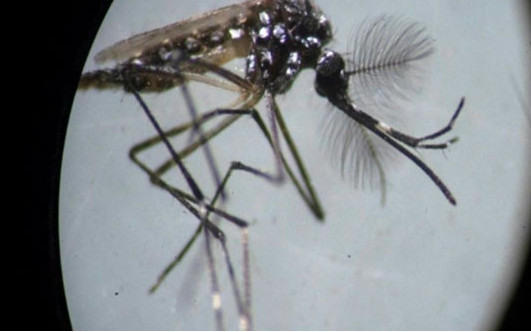 Bacteria-infected Brazilian mosquitoes pack a punch in dengue fight