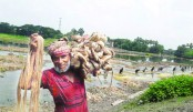 Rising jute prices make Rajshahi farmers happy