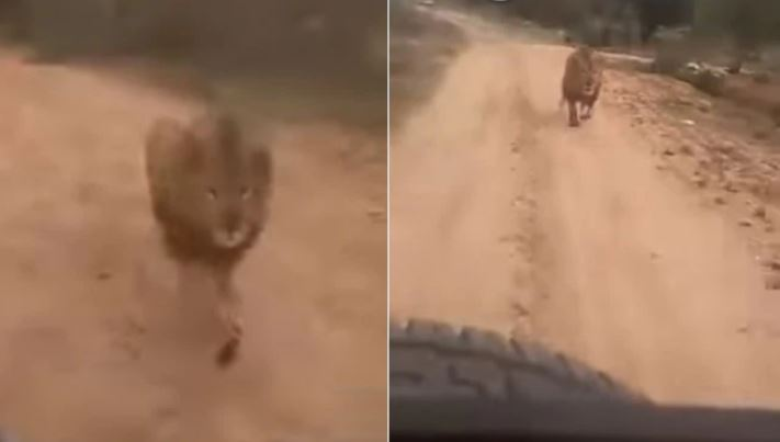 Lion chases tourists, scary video goes viral (Watch)
