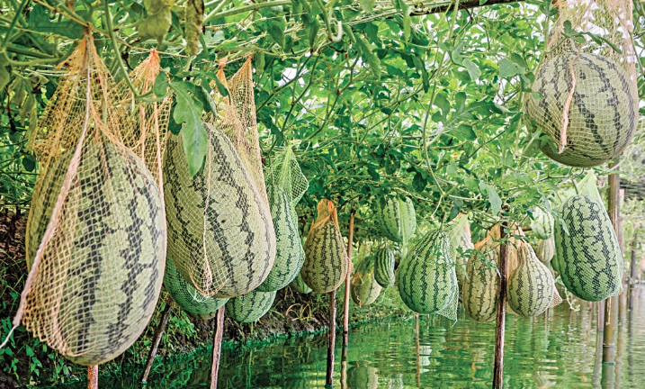 Can one earn a living by farming off-season watermelon?