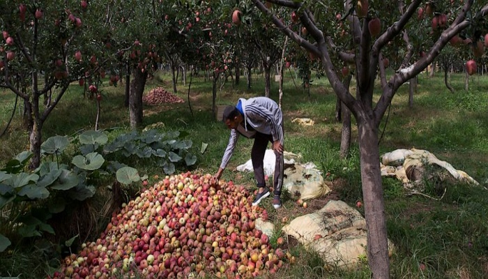 Apple economy latest casualty in strife-torn Kashmir
