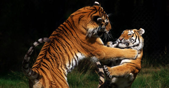 Two tigers in a