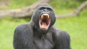 Deadly parasite 'jumped' from gorilla to humans