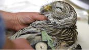 Owl vs. owl: Should humans intervene to save a species?