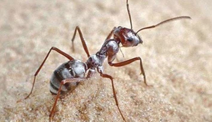 World's fastest ant clocks nearly a metre per second