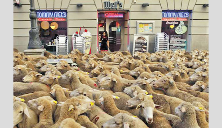 Shepherds guide hundreds of sheep across Madrid