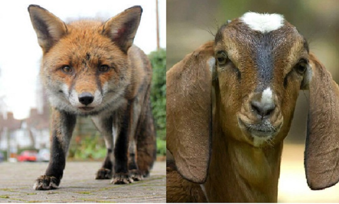 Two held for selling fox meat as mutton in Brahmanbaria