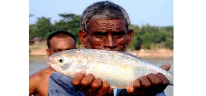 Hilsa in Sylhet's Surma River!