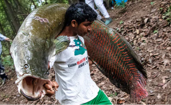 Amazon's giant  pirarucu fish, now on dinner plates